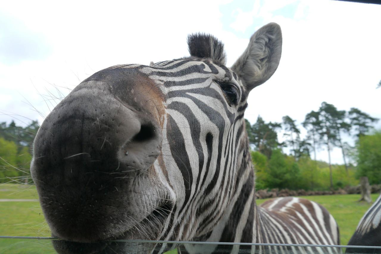 schon mal ein Zebra vom Nahen gesehen?
